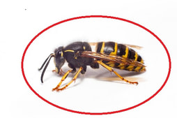 Bes, Wasp, Hornet Extermination and Control services