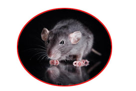 Rat extermination services